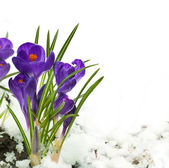 Snowdrops and crocuses on snow in a sunny day — Stock Photo