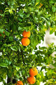 Fresh ripe oranges on a tree in sun beams — Stock Photo