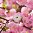 Pink flower of an Oriental cherry in a spring garden — Stock Photo