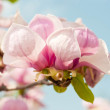 Pink flower of a magnolia in a spring garden — Stock Photo