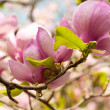 Stock Photo: Pink flower of magnoliin spring garden