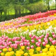 Stock Photo: Bed of tulips in garden of Istanbul