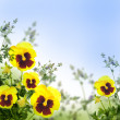 Stock Photo: Yellow spring violets on green background