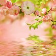 Stock Photo: Pink flower of Oriental cherry