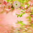 Stock Photo: Pink flower of an Oriental cherry
