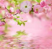 Pink flower of an Oriental cherry — Stock Photo