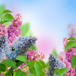 Branch of a multi-colored syringa — Stock Photo