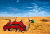 Tourist camel — Stock Photo