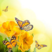 Yellow flowers and butterfly, a spring primrose — Stock Photo