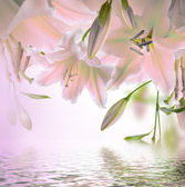 Multi-colored lilies on a dark background — Stock Photo