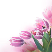 Tulips floral background — Stock Photo