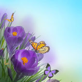 Spring crocuses with butterfly — Foto de Stock