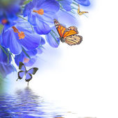 Spring crocuses with butterfly — Stock Photo