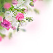 White and pink roses — Stock Photo
