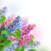 Branch of lilac — Stockfoto