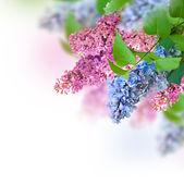 Gren av lila — Stockfoto