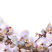 Apricot flowers in spring — Stock Photo