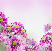 Spring chrysanthemum — Stock Photo