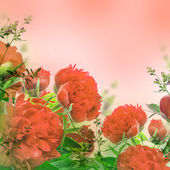 Red peonies on pink — Stock Photo