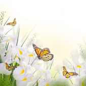 Yellow  irises with yellow daisies with butterflies — Stock Photo