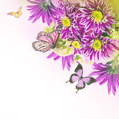 Spring chrysanthemum with butterflies on white — Stock Photo