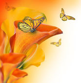 Callas and butterfly — Stock Photo