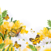Primroses and butterflies — Photo