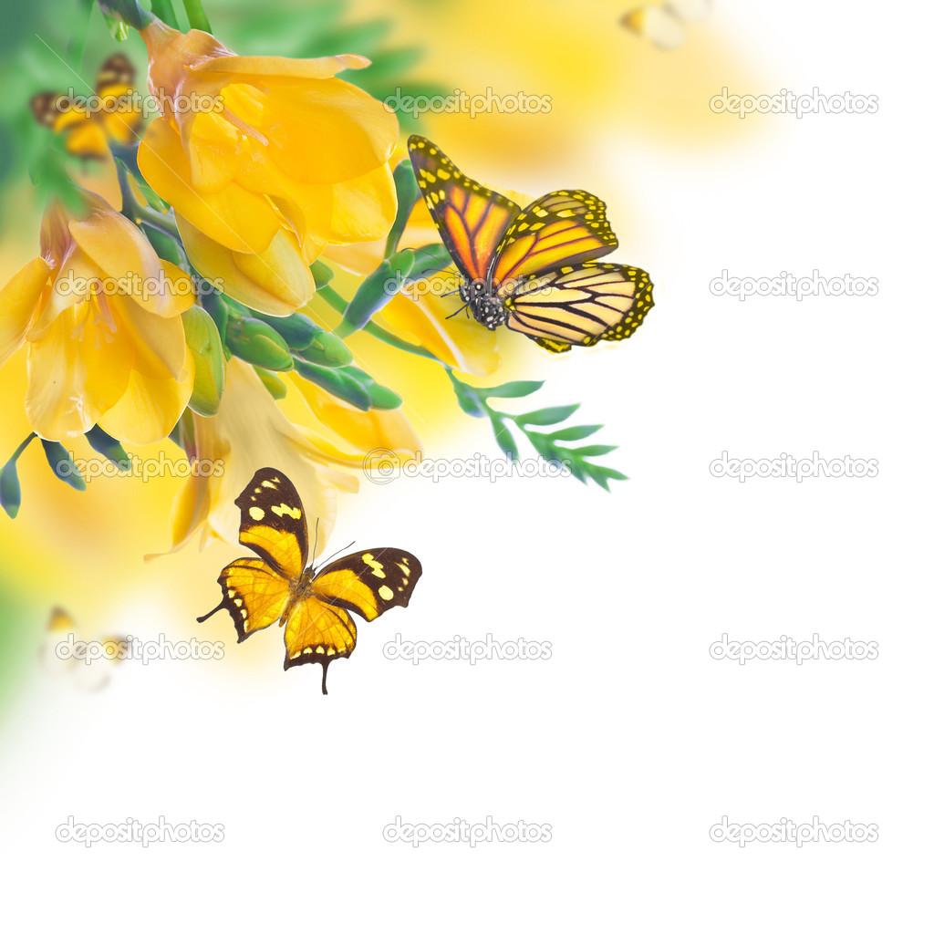 春天黄色的报春花, 蝴蝶, 花卉背景– 图库图片