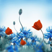 Red poppies field and blue cornflowers — 图库照片