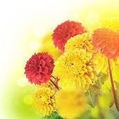 Colorful autumn chrysanthemums — Stock Photo