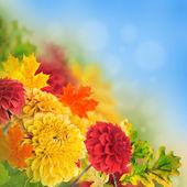 Colorful autumn chrysanthemums — Stock Photo