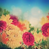 Autumn chrysanthemums — Stock Photo