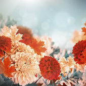 Autumn chrysanthemums — Stock Photo