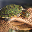 Small turtle on brown stone — Stock Photo