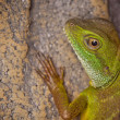 Stock Photo: Close up of Green Lizard
