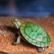 Small turtle — Stock Photo