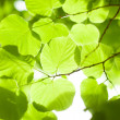 Stock Photo: Green leaves background in sunny day