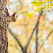 Squirrel in autumn park — ストック写真