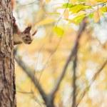 Squirrel in autumn park — Stock Photo