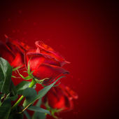 Beautiful red roses — Stock fotografie