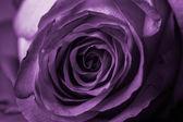 Linda rosa púrpura — Foto Stock