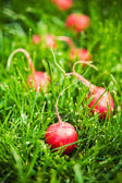 Fresh radish grass — Stock Photo