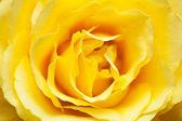 Closeup de rosa amarilla — Foto de Stock