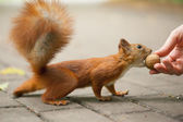 Squirrel eats nut — Foto de Stock