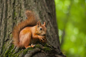 Squirrel eats nut — Photo