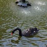 Black swan in lake — Stock Photo #14307857