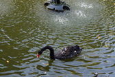 Black swan in lake — Stock Photo