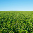 Royalty-Free Stock Photo: Soybean field with fresh soya with copy-space