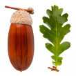 White oak acorn and leaf — Stock Photo