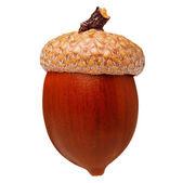 Red oak acorn isolated — Stock Photo
